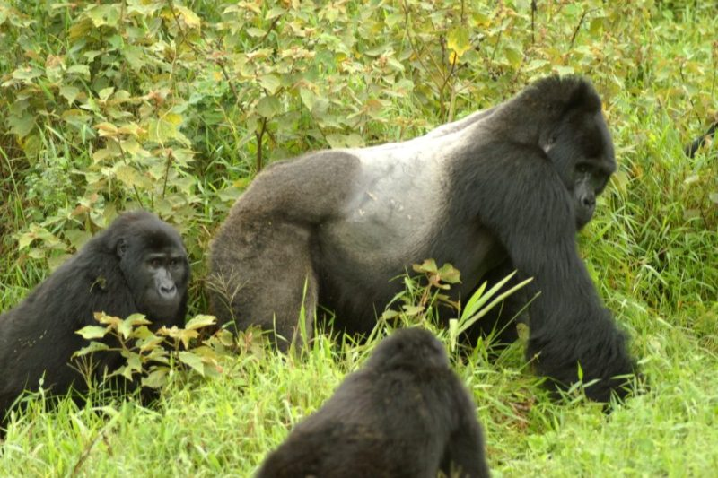 3 Days Mountain Gorilla Trekking Express